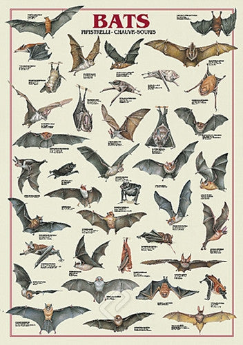 Bat Species From Around the World - Wildlife Poster, 26x38 - Off The Wall Toys and Gifts