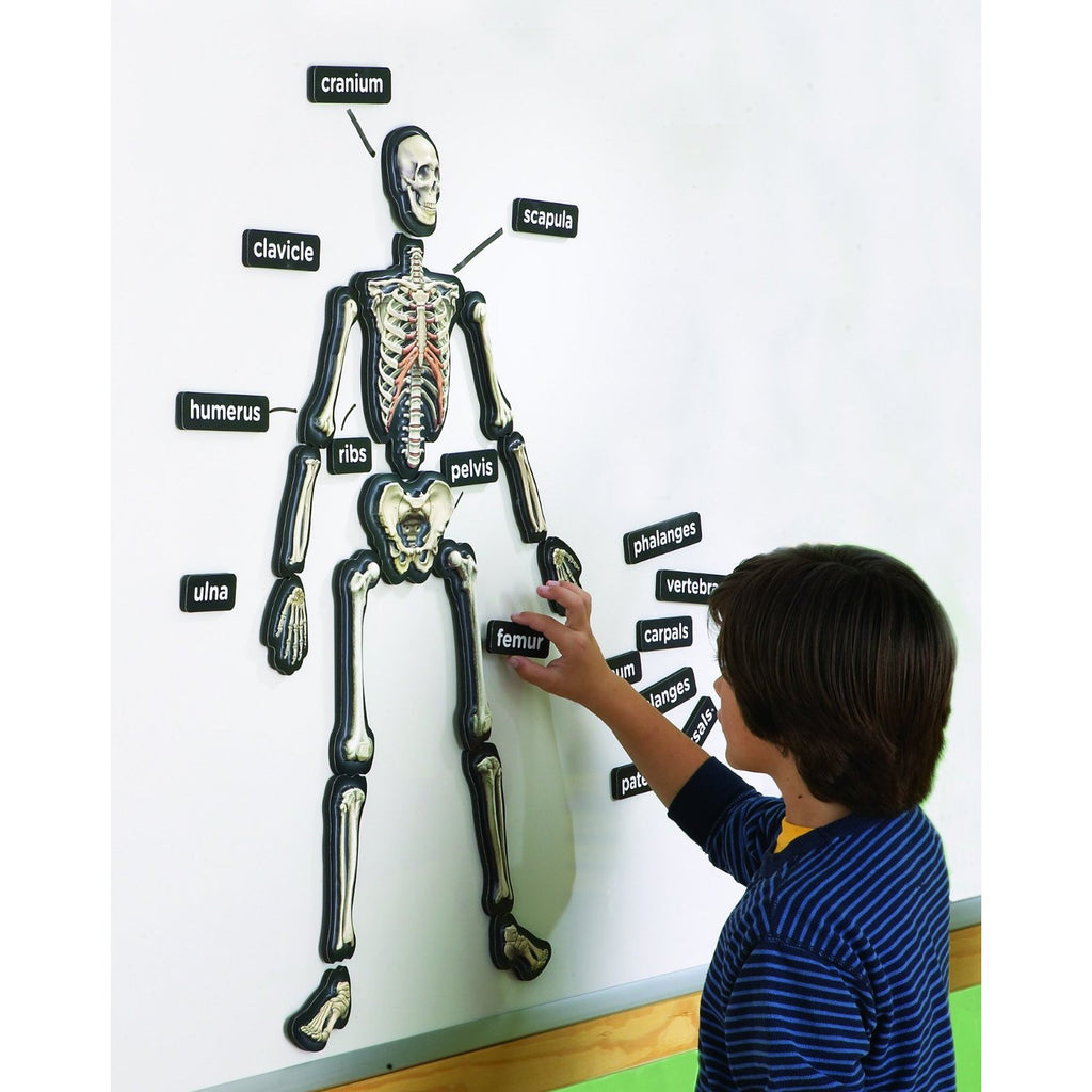 3-D Magnetic Demonstration Skeleton
