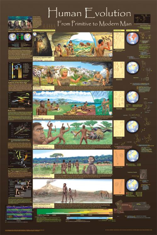 Laminated Human Evolution Poster 24x36  Development and Culture Chart