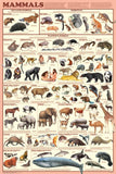 Laminated  Mammal Orders Poster 24x36 - Off The Wall Toys and Gifts