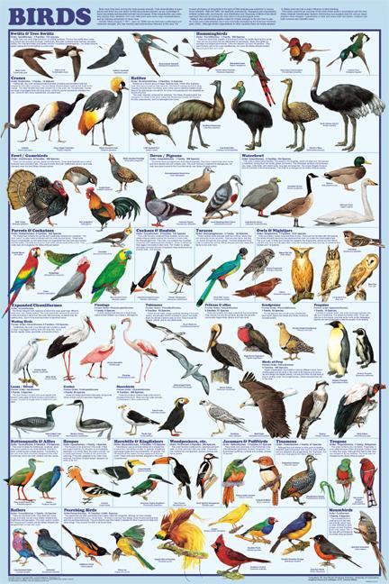 Bird Orders Poster 24x36 Featuring New Classifications - Off The Wall Toys and Gifts
