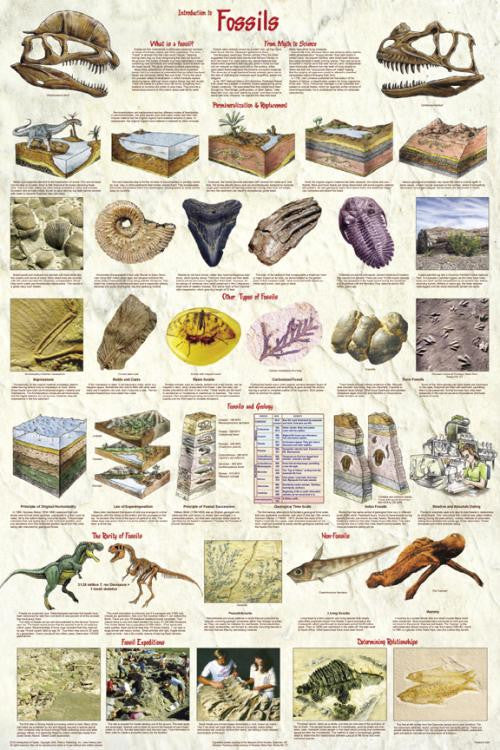 Laminated Introduction To Fossils Poster 24x36 Geology - Off The Wall Toys and Gifts