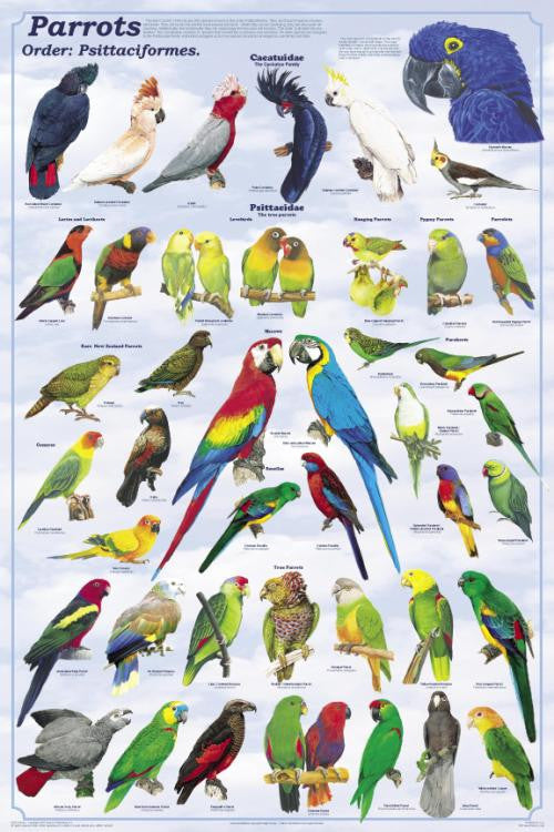 Laminated Parrots The Psittaciformes Poster 24x36 - Off The Wall Toys and Gifts