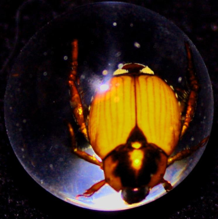 "3/4"" Lucite Embedment Marble w Golden Cockchafer Beetle - Bug Inside - Off The Wall Toys and Gifts"