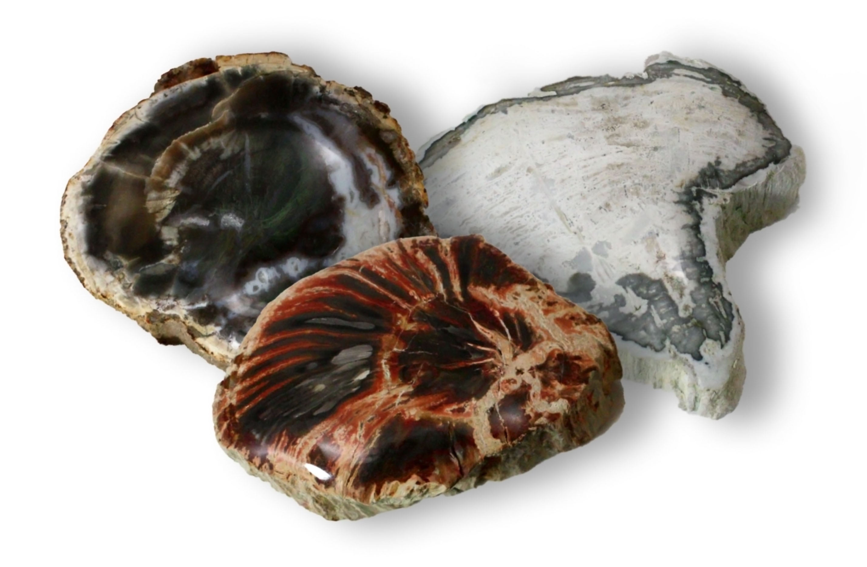 Petrified Wood Branch Cross Section w Polished End - 2.5 to 3 Inches w Info Card