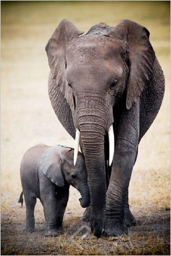 An Elephant & Its Baby - Wildlife Poster 24x36