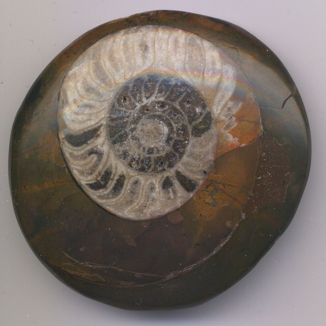 Fossilized Ammonite Seashell Polished 1 Inch w Info Card - Off The Wall Toys and Gifts