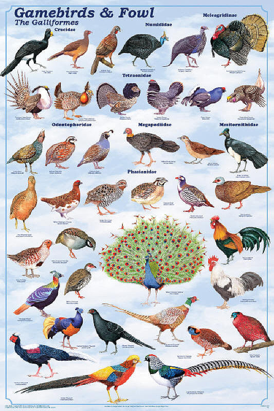 Laminated Gamebirds & Land Fowl Identification Chart Poster