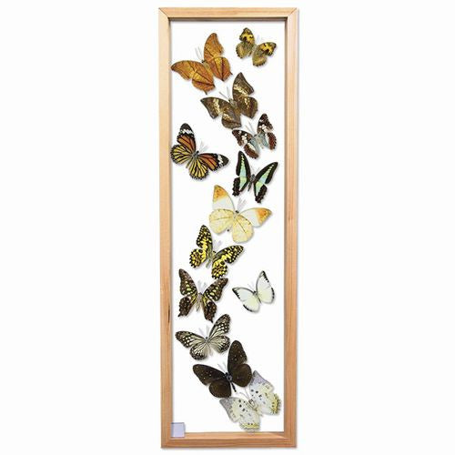 13 Butterfly Specimens in Single Frame 7 x 23.5 Inches