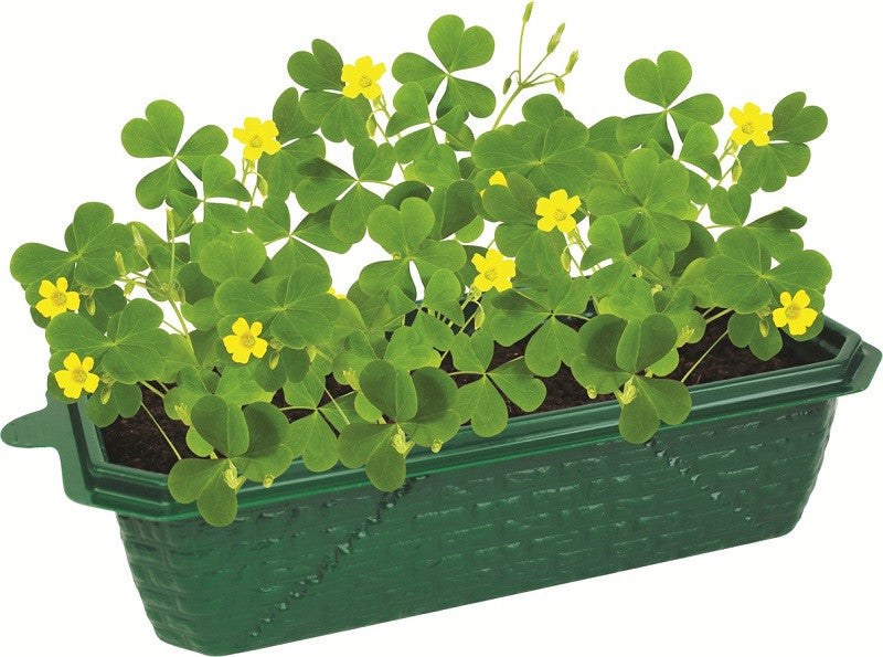 Lucky Shamrocks - Clover Windowsill Greenhouse Garden