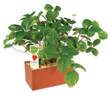 Plants That Work Sensational Strawberries Plant Cube - Off The Wall Toys and Gifts