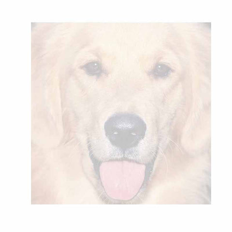 Golden Retriever Dog Sticky Notes