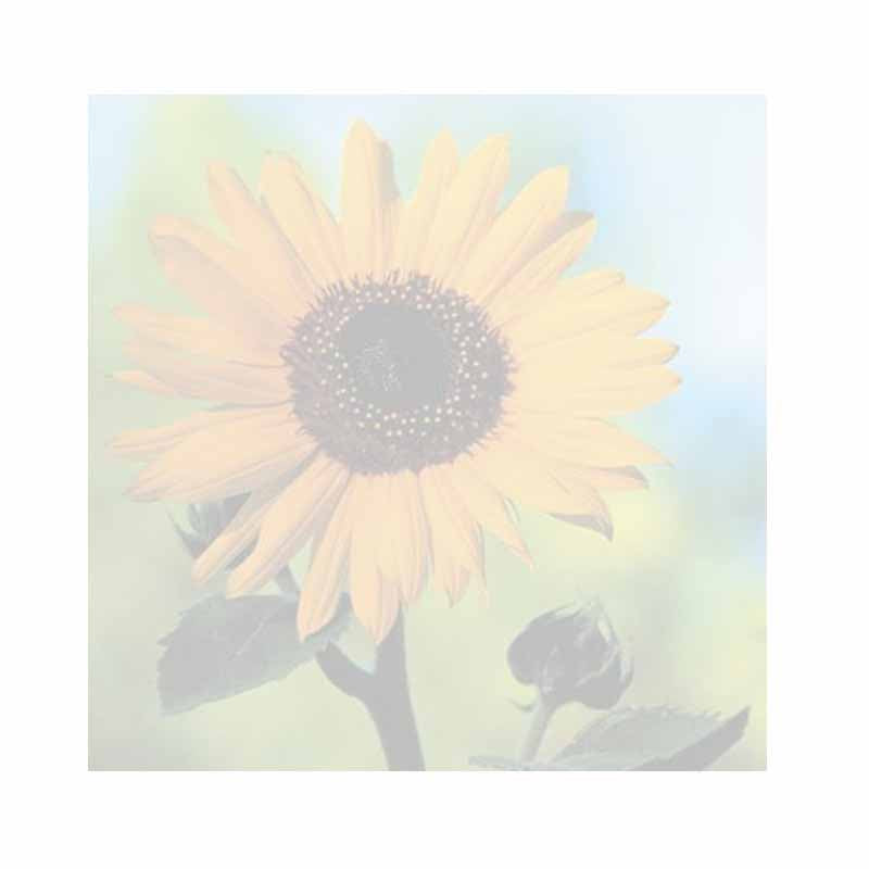 Sunflower Sticky Notes - Set of 3 - Blank or Personalized