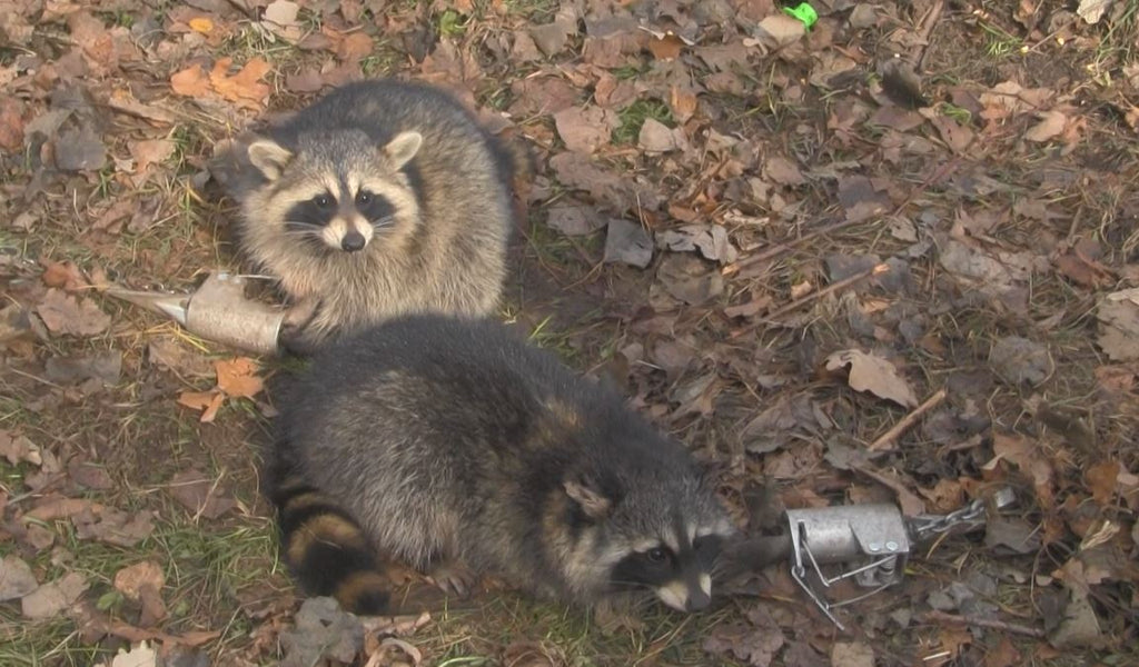 The Amazing Dog Proof Raccoon Traps by John S. Chagnon