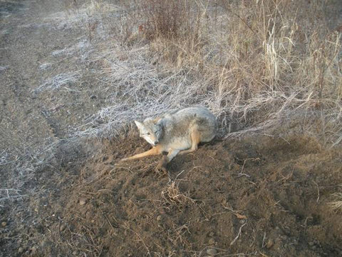 MO Trapper Michael Caught his First Canines Using Lenon Fox Super All Call