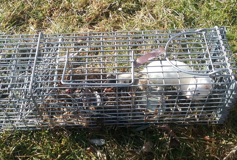 Weasel caught in a live cage trap using lenon's weasel super all call lure