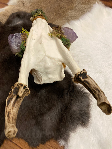 Custom Muntjac Skull with Amethyst