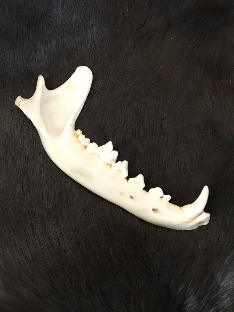 Coyote Jaw Bone