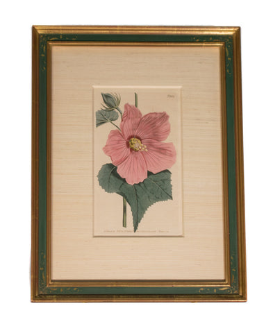 Hibiscus:    Original Antique English Engraving by Sydenham Edwards