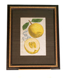 Lemons - Original Antique Italian Engraving of Citrus Fruit by Giovanni Battista Ferrari