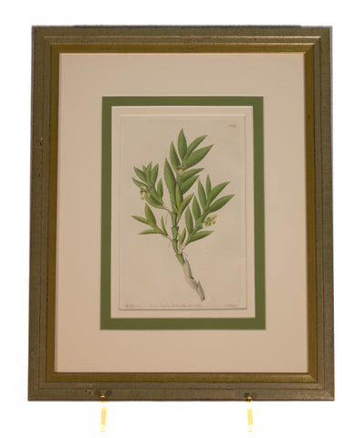 Plant - Original Antique English Engraving by Sydenham Edwards