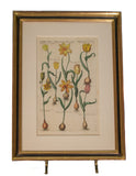 Original Antique Dutch Engraving of Tulips by Theodor de Bry