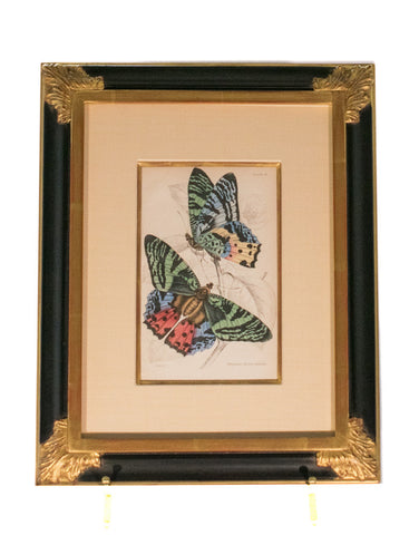 Sir William Jardine hand framed lithograph - Butterfly