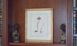 "Original Antique English Engraving of ""Ixia Punctata"" by Henry C. Andrews"