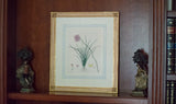 "Original Antique English Engraving of ""Sowerbaea Juncea"" by Henry C. Andrews"