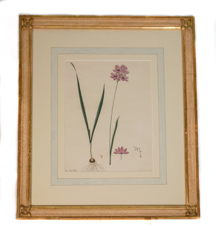 "Original Antique English Engraving of ""Ixia Maculata"" by Henry C. Andrews"
