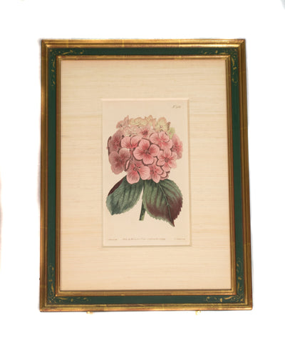 Original Antique Engraving by Sydenham Edwards - Hydrangea