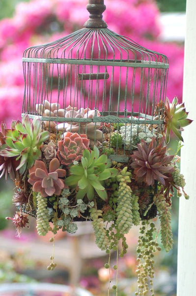 Birdcage hanging planted with succulents