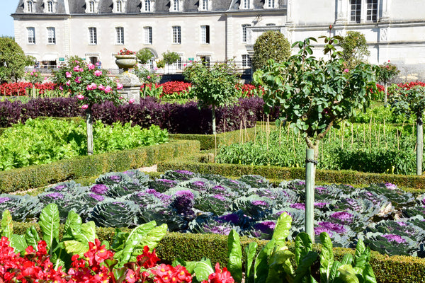 French vegetable garden with purple cabbage