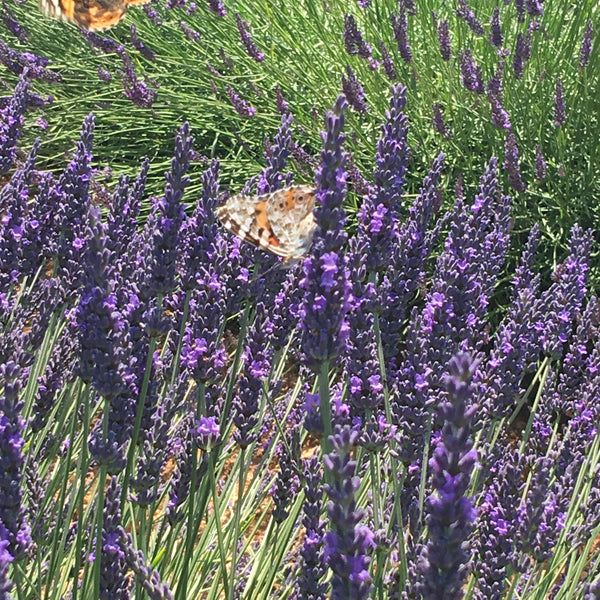 Butterfly on French lavender