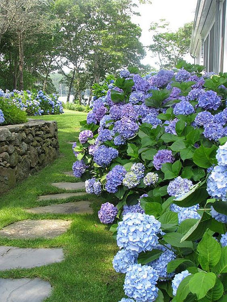 Blue hydrangeas en masse French garden design
