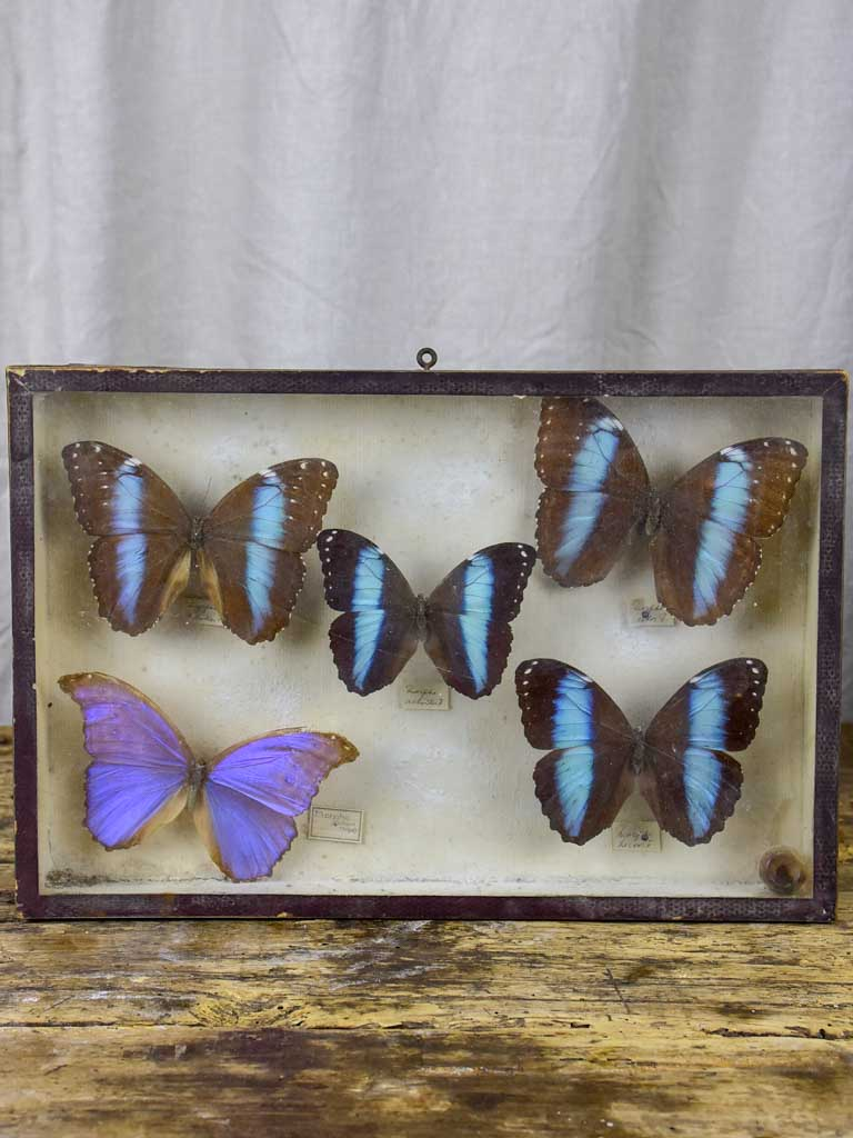 19th Century Butterflies in a display case