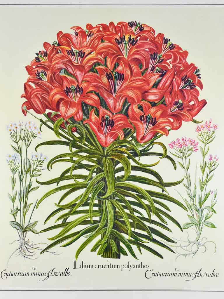 "Vintage French botanic art print of an engraving  - Lilium 22¾"" x 26"""