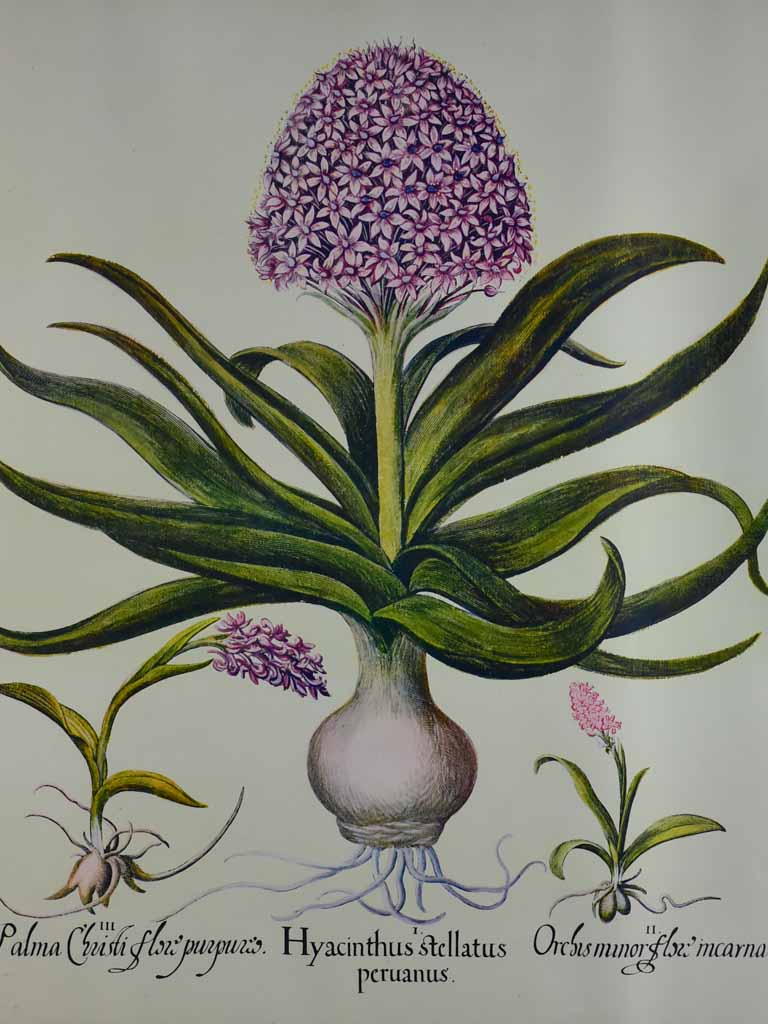 "Vintage French botanic art print  - Hyacinth 22½"" x 26¾"""