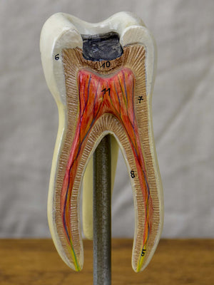 Anatomical teeth model from Dentistry school