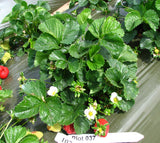 Cupcake USPP short Day Sweet Darling strawberry that fruits early in the spring with very attractive large pinkish-red and curvy fruits, medium later in the summer -- live dormant bare root plants