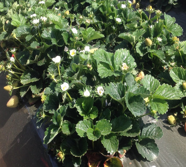 Preakness USPP High Flavor Deep Red, Round Small Plant Strawberry live dormant bare root strawberry plants
