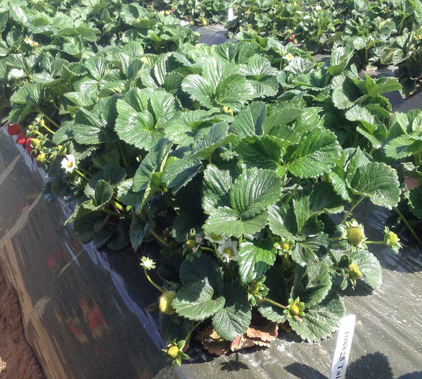 Taia USPP, pronounced 'tay-a' and named after the breeder's sister, is a very high flavor Sweet Darling strawberry cultivar and prolific producer too -- live dormant bare root strawberry plants