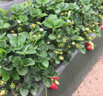 Cabrillo USPP27830 Strawberry plants from the breeding program of The University of California produce an abundance of medium to deep red  flavorful very firm fruit of the highest quality and longest shelf life