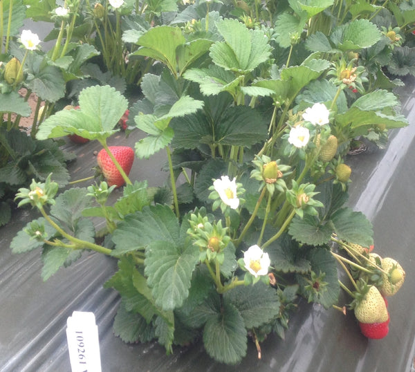 Strawberry variety named Vaulter USPP A very Early elegant Sweet Darling strawberry plant with flowers and fruit on very long stems evenly distributed about the plant