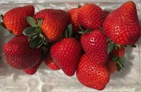 Flame USPP28470 Solid red fruit, a Sweet Darling day neutral commercial cultivar -- live dormant bare root strawberry plants