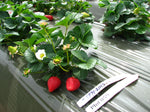 Octavia USPP A Very High Yielding Full Red Sweet Darling commercial genotype -- live dormant bare root strawberry plants