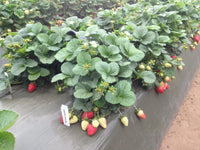 Omaha USPP Our Most Popular Sweet Darling strawberry plant variety, very high yield uniform symmetrical fruits and great flavor -- live dormant bare root strawberry plants