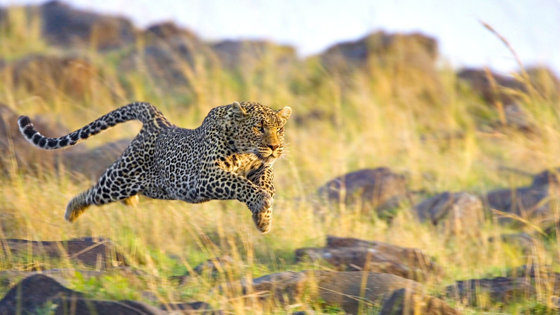 The Speed Of The Leopard Explained Why Are They So Fast Lprd