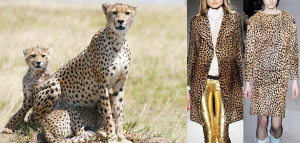 The cheetah and her cubs next to catwalk images of cheetahprinted clothes