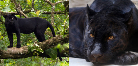 Black panther and black jaguar